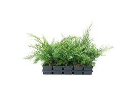 Hetzi Juniper | 1 Live 4 Inch Pot | Juniperus Chinensis | Drought Tolera... - £18.06 GBP