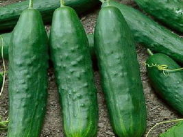 150 Organic Straight Eight Cucumber Seeds NON-GMO Heirloom - $1.79