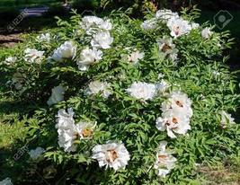 10 Seeds / Pack White Peony Seeds for Oil Professional Pack - $12.99