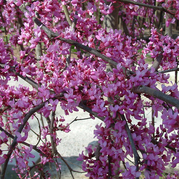 Eastern Red Bud quart pot (Cercis canadensis)