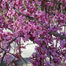 Eastern Red Bud quart pot (Cercis canadensis) image 1