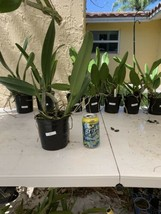 C. Horace Maxima' CATTLEYA Orchid Plant Pot BLOOMING SIZE 0501 B image 2