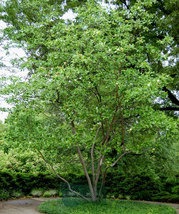 SWEETBAY MAGNOLIA qt. pot  Laurel Magnolia, Swamp Magnolia - (Magnolia virginian image 4