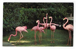 Florida Pink Flamingos Hialeah Race Course Birds Photo Vintage Postcard - $4.99