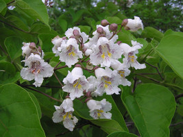 CATALPA TREE quart pot image 1