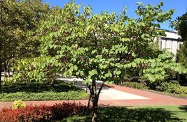 Eastern Red Bud quart pot (Cercis canadensis) image 5