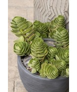 "Portulaca molokiniensis Maraca succulent 2 healthy cuttings 3""-6"" in len... - $8.90"
