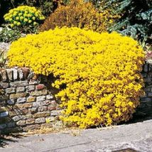 Ship From Us 60 Seeds Yellow Sweet Fragrant Alyssum,Diy Sb Flower Seeds - $27.99