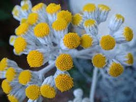 30 Seeds Dusty Miller Seeds, Perennial, Senecio Cineraria, Silver Foliag... - $13.86