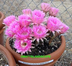 Echinopsis,Hybrid, 'ENCHANTMENT',**HAS BUDS**,Plant, +PUP TOO,Cactus,NO,... - $32.36