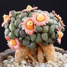 Aloinopsis schooneesii Seeds * 10 Rare quality Aizoaceae bonsai flower N... - $4.93