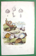 SHELLS of Mollusks Snails Clams - SUPERB H/C Color Antique Print Engraving - $16.83