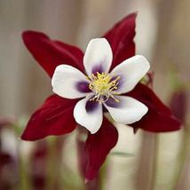 25 Maroon White Columbine Seeds Flower Perennial Flowers Seed 698 - $7.68