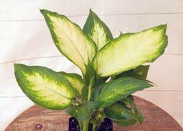 Dieffenbachia in growers pot evergreen LIVE houseplant Outdoor Living - $61.99