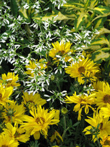 Heirloom 1000 Seeds Bidens Golden Eye Goddess Garden flower bulk seeds - $8.22