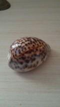 Small Cypraea tigris -Nice color - $12.83