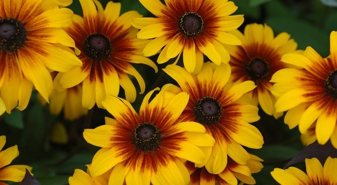 Primary image for Live Plant Rudbeckia Black Eyed Susan Daisy