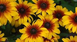 Live Plant Rudbeckia Black Eyed Susan Daisy - $26.49