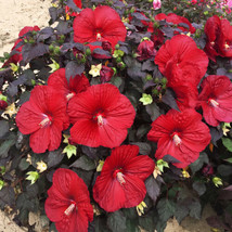 """2.5"""" pot 1 Live Potted Plant bush hibiscus Holy Grail red big perennial ... - $32.99"""