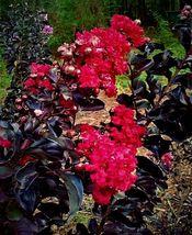"""BLACK LEAF """"RED HOT"""" CRAPE MYRTLE TREE CREPE LIVE STARTER PLANTS ROOTED - $49.99"""