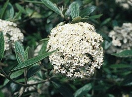 Pragense Viburnum image 1