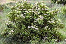Elderberry (Sambucus canadensis) shrub qt. pot image 6