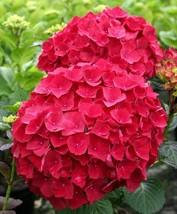 10 Red Hydrangea Seeds Perennial Hardy Garden Shrub Bloom Flower - TTS - $29.95
