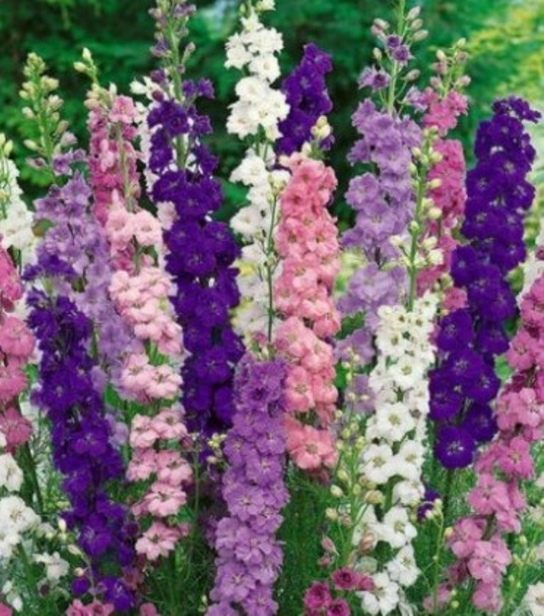 Primary image for 50 Pcs Seeds Bright Delphinium Mixed Perennial Flower- RK