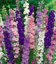 50 Pcs Seeds Bright Delphinium Mixed Perennial Flower- RK  - $14.00