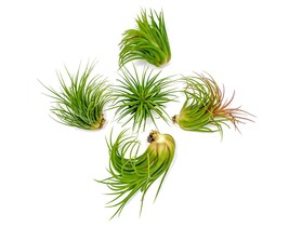 Tillandsia Ionantha Air Plant House Indoor Terrarium assorted Plants Hom... - $17.99