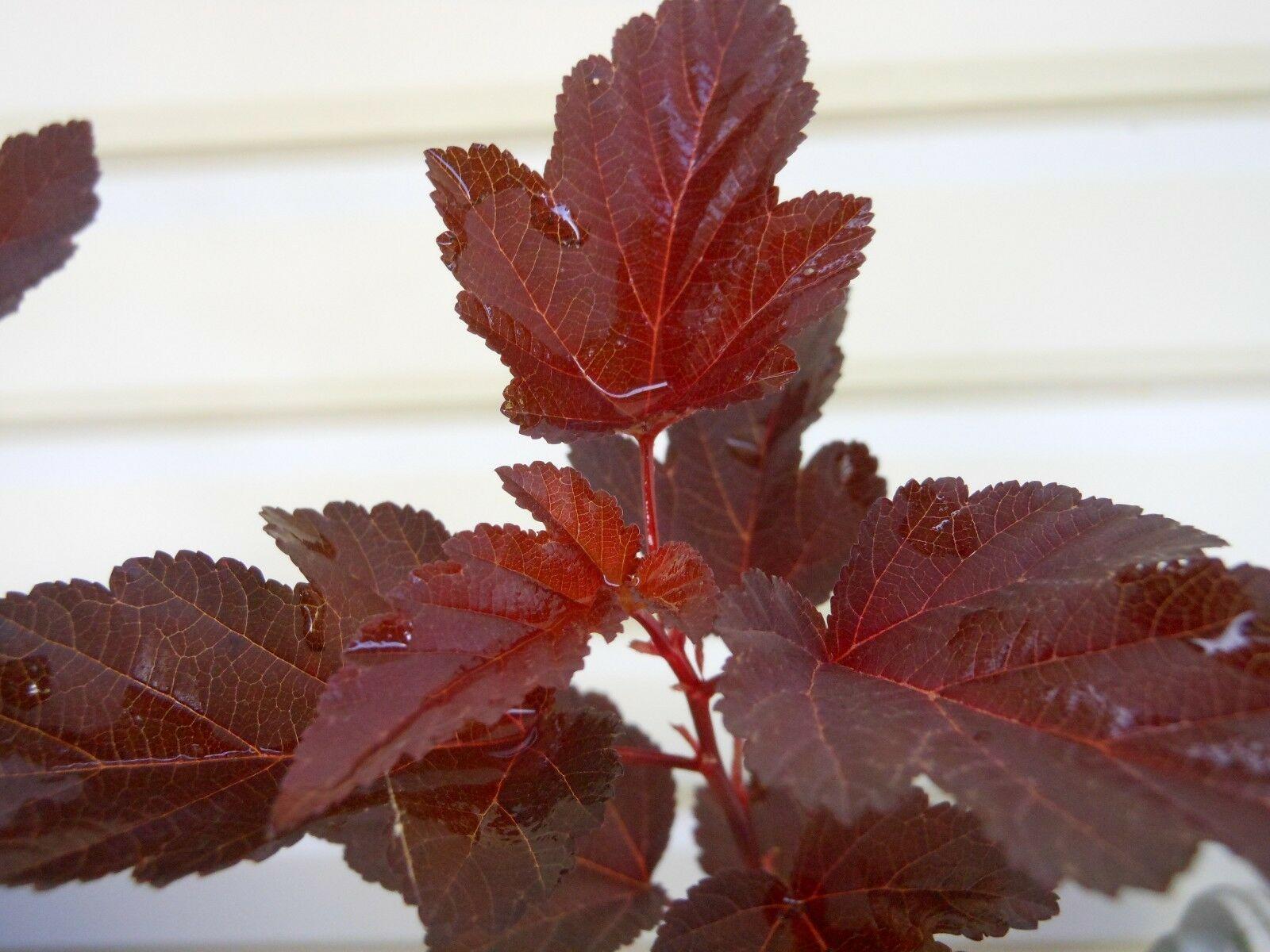 Crimson Diabolo Ninebark 2 plants Shrub