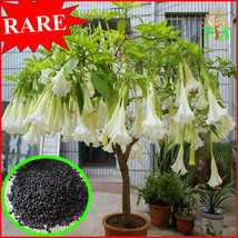 RARE 100pcs Datura flower Tropical Plant aromatic White Angels Trumpet f... - $2.84