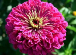 100 Pcs Seeds Violet Queen Zinnia Elegans Flower -  RK - $6.00
