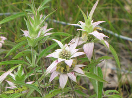 Spotted Bee Balm (Monarda Punctata) L 960 Seeds - $22.95