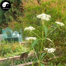 Buy Herba Patriniae Seeds 400pcs Plant Dahurian Patrinia Herb For Su Bai... - $15.99