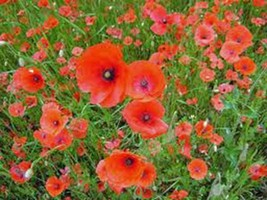 POPPY, SHIRLEY 1000 SEEDS ORGANIC, BRIGHT RED FLOWER, LONG LASTING RED B... - $10.99