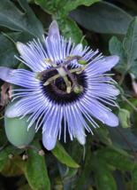 5 Pcs Seeds Hardy Blue Passion Passiflora Caerulea Blue Bouquet Flower - DL - $16.00