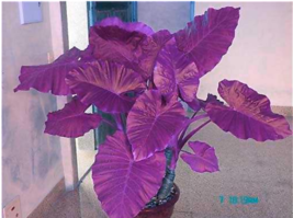 Colocasia Plant Jacks Giant Elephant Ear Seeds 50 Seed Purple - £0.74 GBP