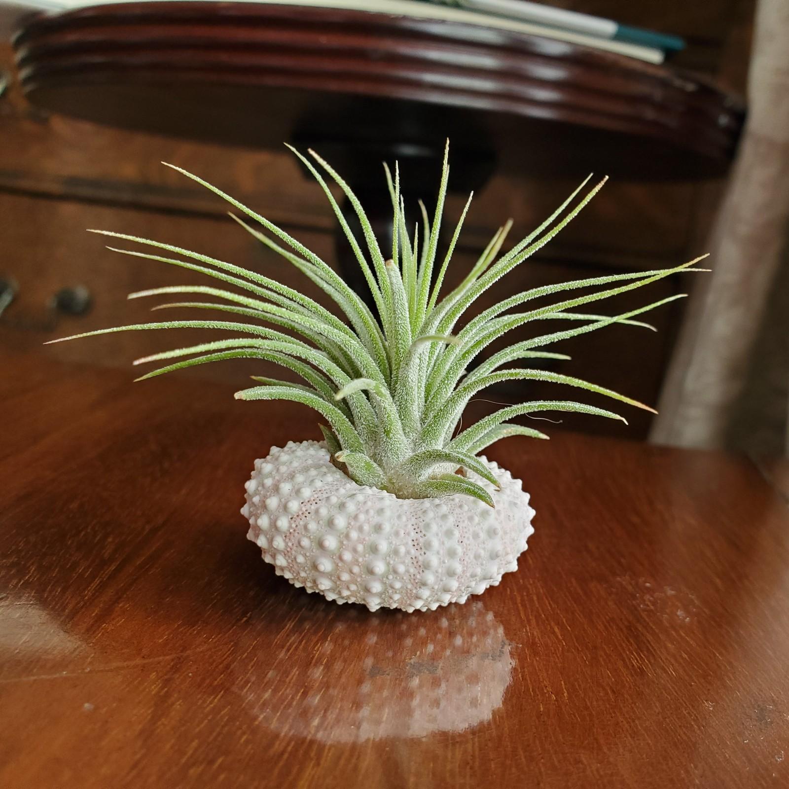 Urchin airplant 1