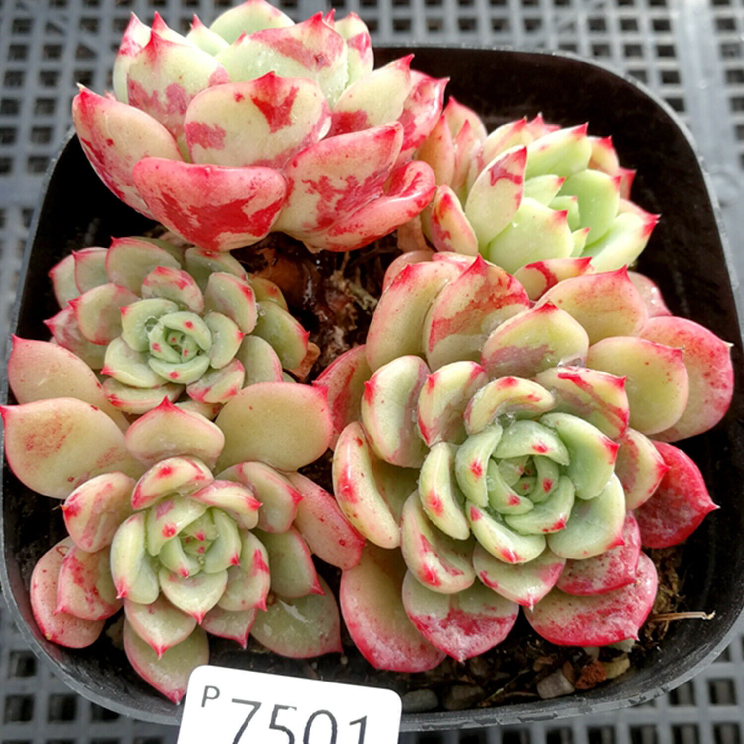 "Primary image for Rare Plant Echeveria lala Succulent Live Plant Home Garden in 2"" Planter"
