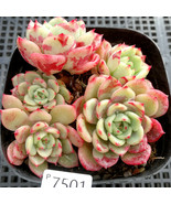 """Rare Plant Echeveria lala Succulent Live Plant Home Garden in 2"""" Planter - $21.80"""