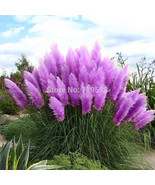200pcs New Rare Impressive Purple Pampas Grass Seeds  home garden Plant - $4.99