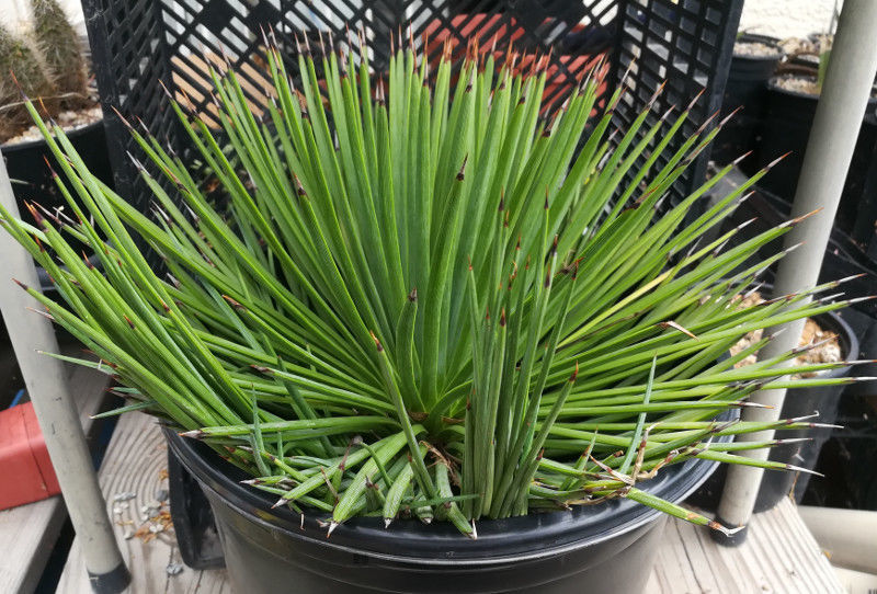 Agave stricta Perfect Ball of Crochet Needle Leaves Large Clump Succulent 63