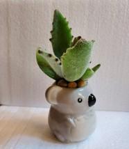 "Succulent in Koala Planter, Panda Plant, 2.5"" ceramic image 4"
