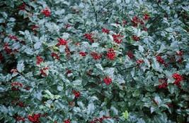 Hardy Ilex Meserveae Blue Prince Holly Evergreen Garden Patio Yard Ornam... - $40.97