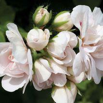 15 Seeds ~ Geranium Logro Nano White Pelargonium Flower - $10.99