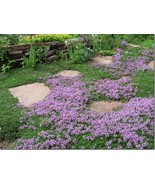 200 Creeping Mother of Thyme Seeds - $6.99