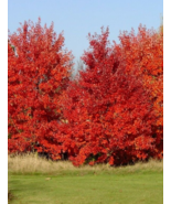 10 Pcs Seeds October Glory Red Maple Acer Rubrum Tree - DL - $16.00