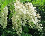 Black Locust Tree seedling Flowering Renewable firewood Posts Native LIVE PLANT