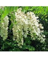 Black Locust Tree seedling Flowering Renewable firewood Posts Native LIVE PLANT  - £24.27 GBP